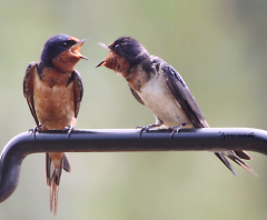 BARN SWALLOWS TALKING