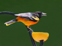 Gourmet Feast For Baltimore Oriole