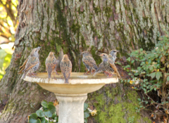Many starlings found our birdbath