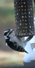 A downy woodpecker eating peanuts