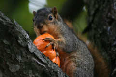 The Pumpkin and the Squirrel (close-up)