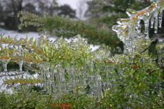 Freezing Rain Covers Bushes