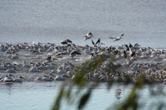 Pelicans Migrating South