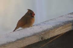Female Cardinal with Food