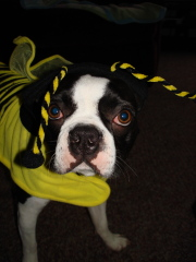 Cutest Boston Terrier Around!