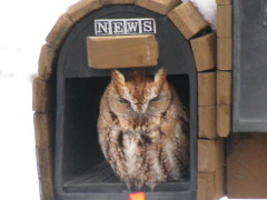 Red Eastern Screech Owl waiting for News