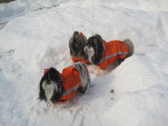 Shih Tzus in their snowsuits