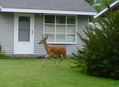 A deer in the neighborhood