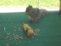 Irene the squirrel like corn