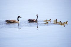 Goose family finds new digs