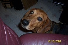 Missing Basset Hound mix in Mapleton