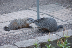 They're back! Uninvited groundhogs