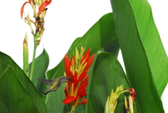 Hummingbirds like canna flower nectar!!!