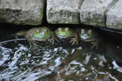 3 Frogs in a row