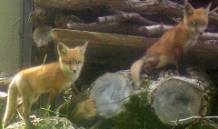 Foxy Friends move in with Family