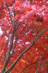 Japanese Maple shows off it's color