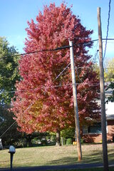 Beauiful maple tree turning red