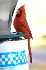 Male cardinals are pretty birds.