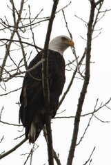 Eagle watching along the Illinois River