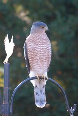 hawk visiting birdfeeder