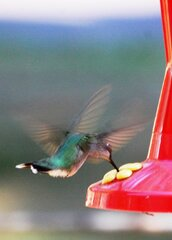 Huummingbird in floight