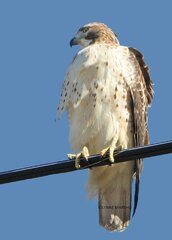 HAWK WATCHING SHERIDAN ROAD