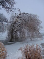 Icy Weeping Willow