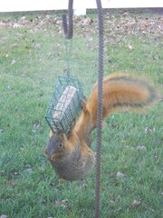 Hungry Squirrel Raids Bird Feeder