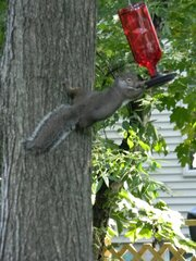 Squirrel raiding hummingbird feeder