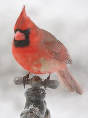 Cardinal in todays icestorm