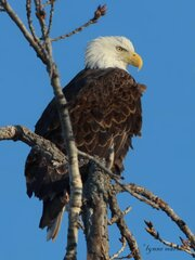 EAGLES IN CHILLICOTHE