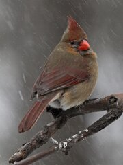 Mrs. Cardinal In Snow Storm