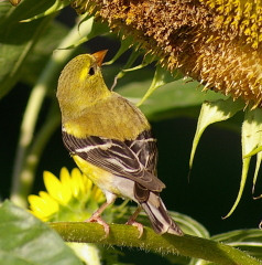 Goldfinch Visitor