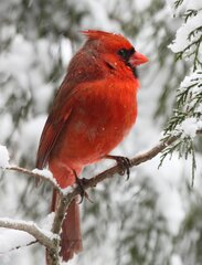 CARDINAL AGAINST SNOW