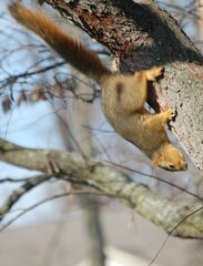 A squirrel climbig down a tree