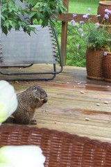 Our resident groundhog