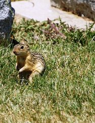 13 striped ground squirrel