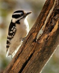 Downey Woodpecker Likes The Cold