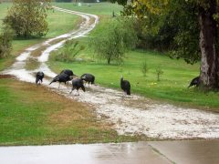 Rainny day turkeys on our driveway