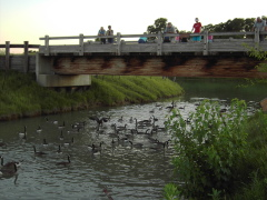 Feeding the fish and geese at Lakeland Park Canton