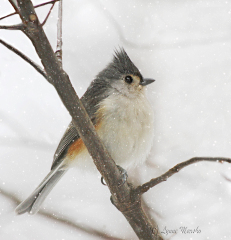 TUFTED TITMOUSE IN PEORIA STORM