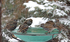 Uninvited Starlings