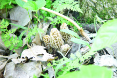 Local Morel Mania