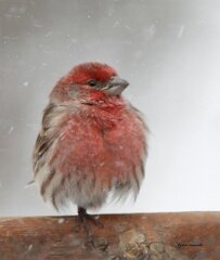 HOUSE FINCH IN STORM