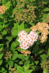 Heart Shaped Spirea