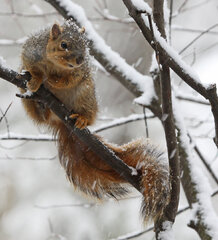SQUIRREL IN SNOW STORM