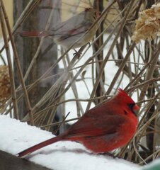 Cardinals waiting for the feeder