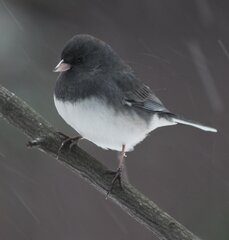 JUNCO IN RAIN