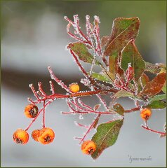 FROZEN PYRACANTHA BUSH