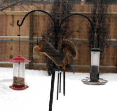 a hungry squirrel at the bird feeder